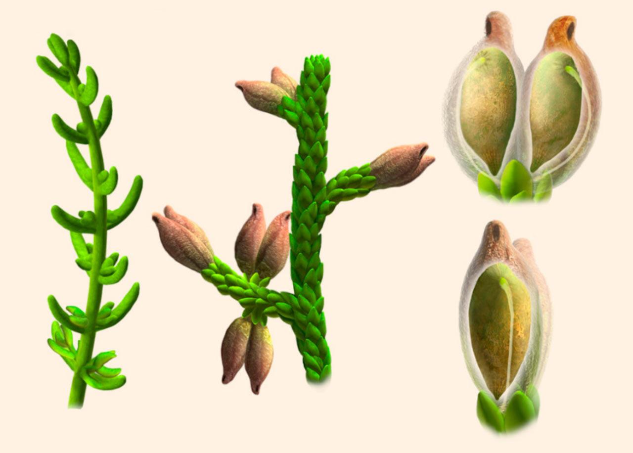 Cette plante a vécu avec les bronchiosaures